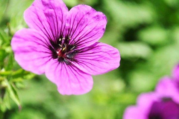 zoom fleur violette. Black Bedroom Furniture Sets. Home Design Ideas